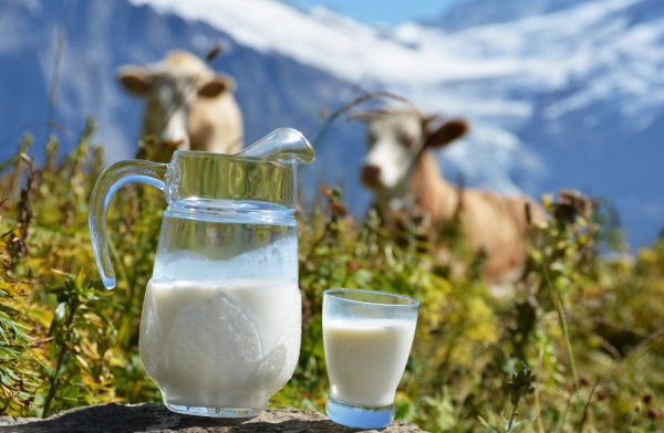Что делать если у коровы пропало молоко Горькое молоко у коровы