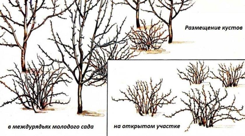 Посадка крыжовника между плодовыми деревьями