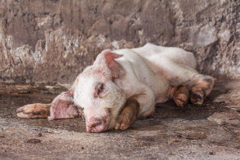 Болезнь рожа у свиней