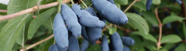 Жимолость лакомка Мальвина гордость Бакчара Сиротина фото и описание видео