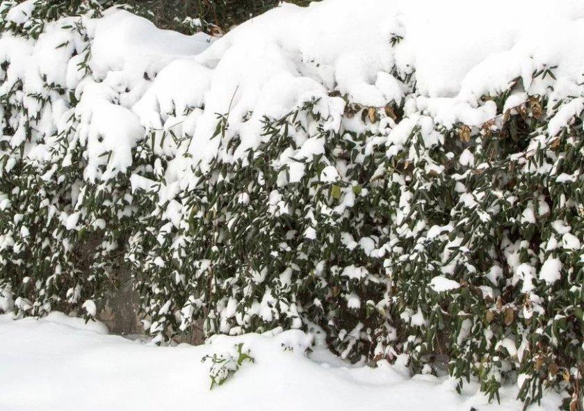 Зимовка жимолости