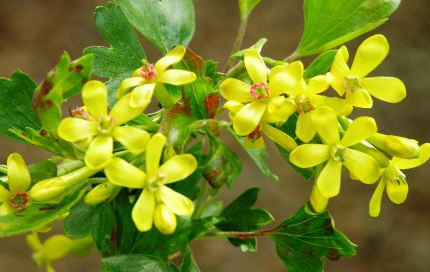 Цветы смородины Ляйсан