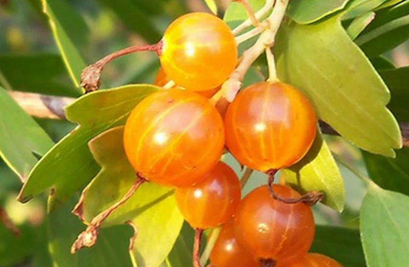 Плоды смородины Ляйсан