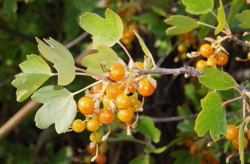Листья куста смородины Ляйсан