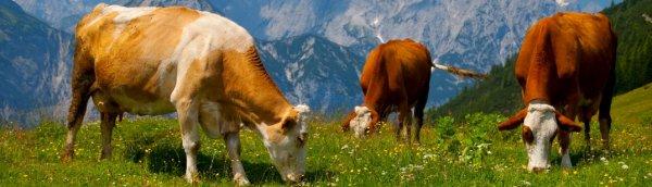 Осложнения после отела коровы, задержание последа коровы после отела, лечение осложнений после отела