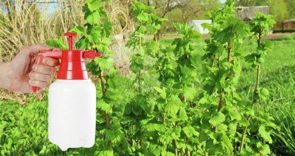 Обработка кустов бордосской жидкостью
