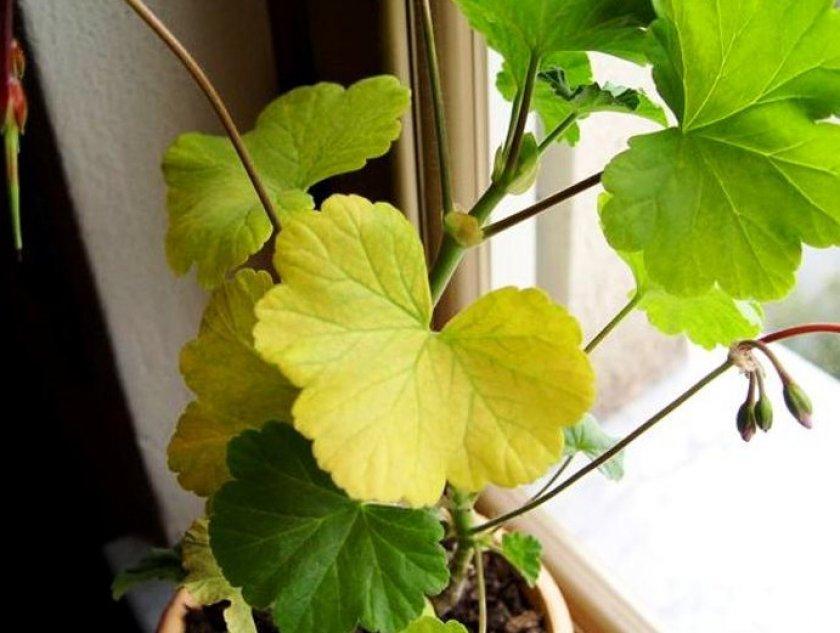 Пожелтевшее листья в герани