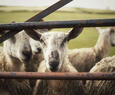 Как правильно построить помещение для содержания овец: выбор участка, расчёт площади