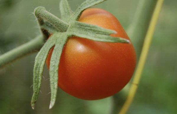 Все о томате «клуша» и его выращивании
