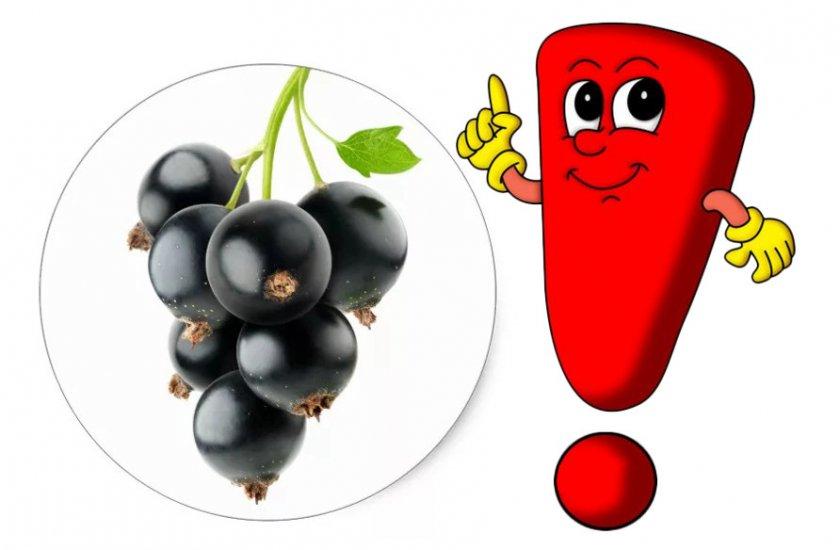 Противопоказания к применению и употреблению чёрной смородины
