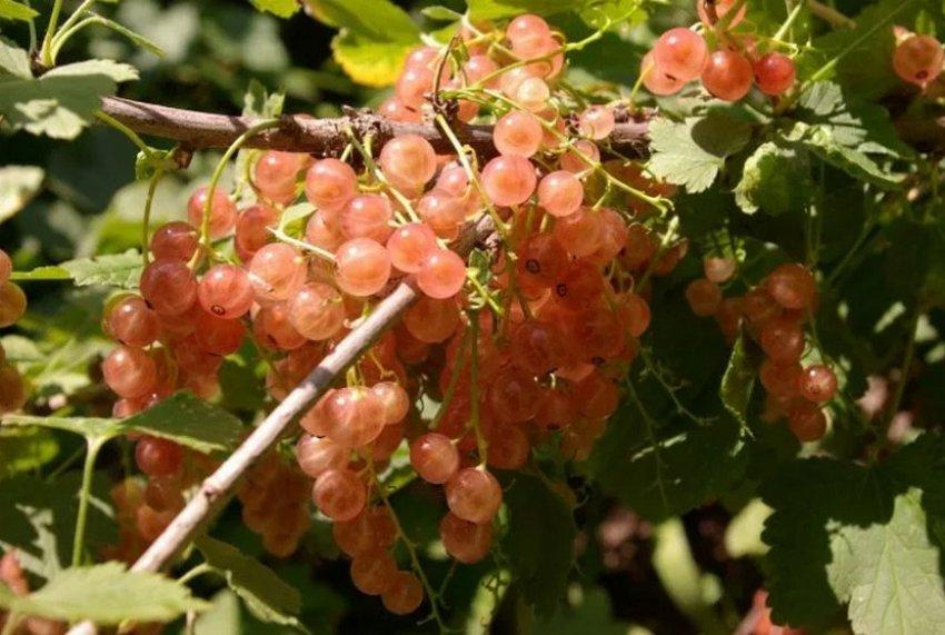 Красная Голландская розовая смородина