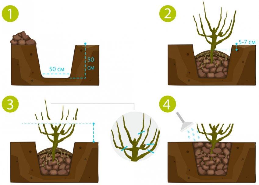 Схема посадки саженца ягодного кустарника