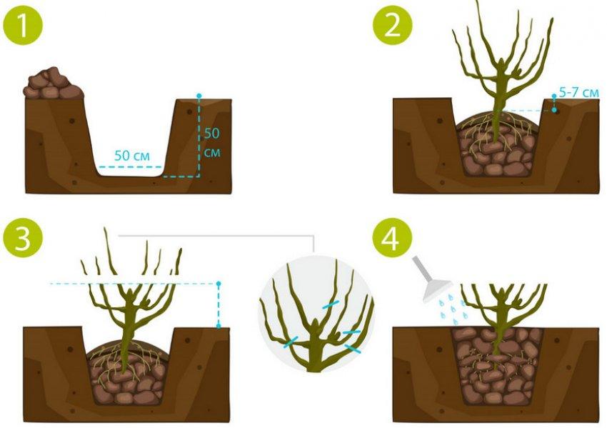 Схема посадки куста