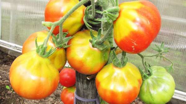 Желтое пятно у плодоножки томата