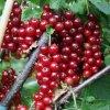 Хорошие сорта малины новосибирск: посадка и уход