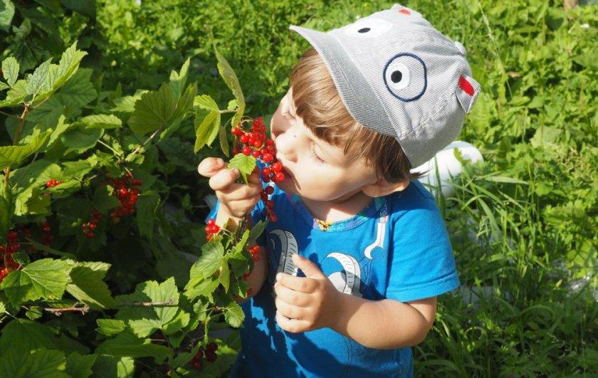 Красная смородина для детей