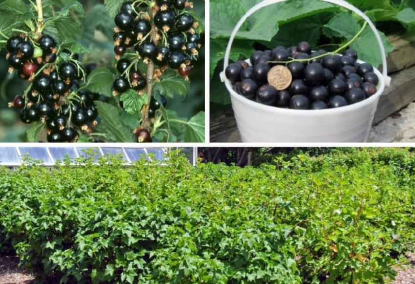 Урожай смородины сорта Лентяй
