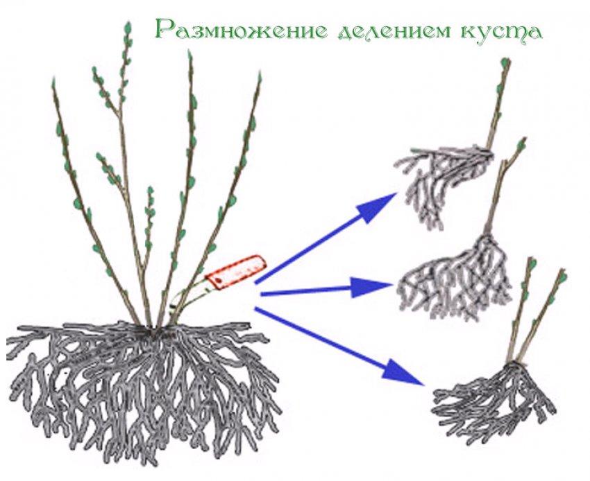 Размножение смородины делением куста