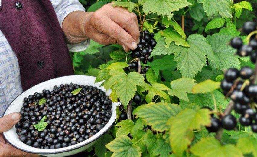 Сбор урожая чёрной смородины