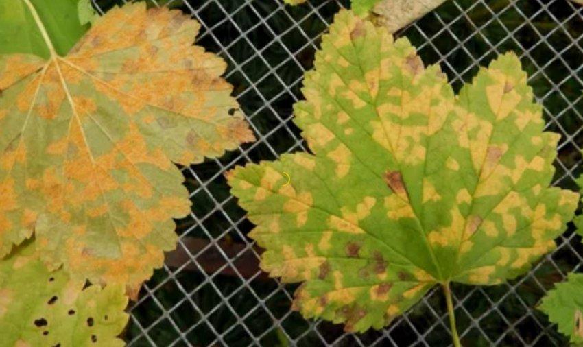 Полосатая мозаика на листьях смородины