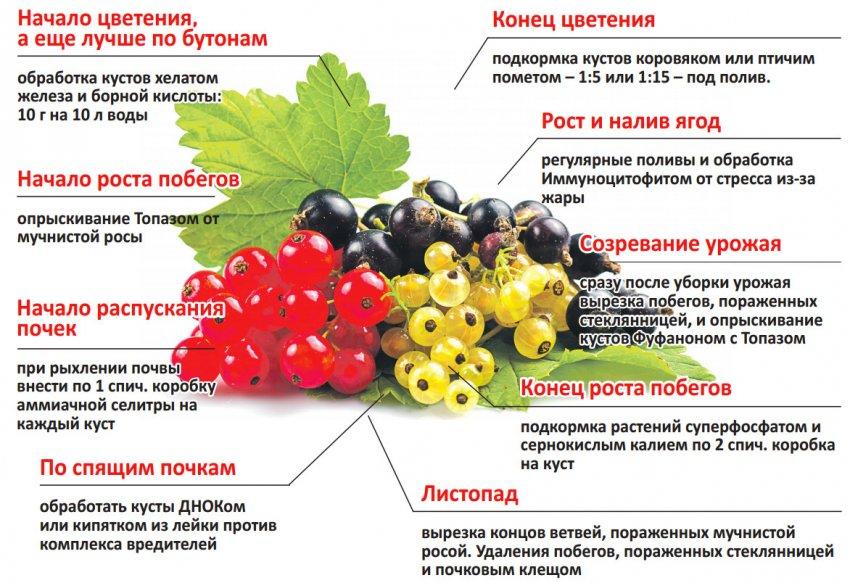 Схема подкормки смородины на разных этапах