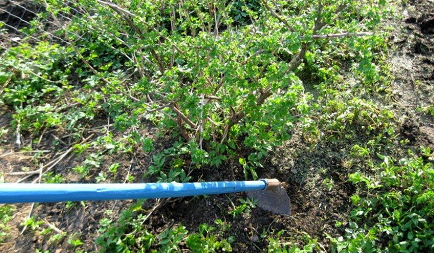 Удаление сорняков вокруг смородины