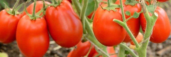 Томат столыпин характеристика и описание сорта урожайность с фото