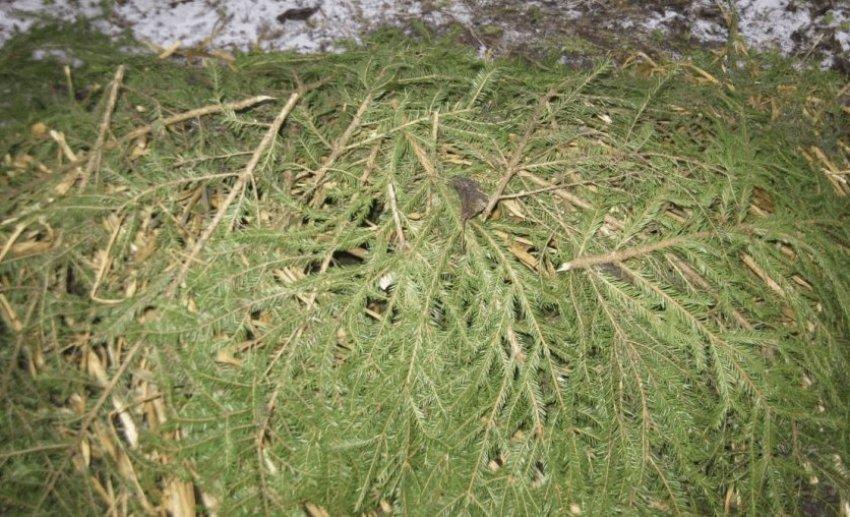 Укрытие ежевики на зиму еловым лапником