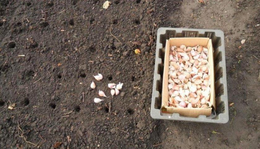 Посадка чеснока осенью