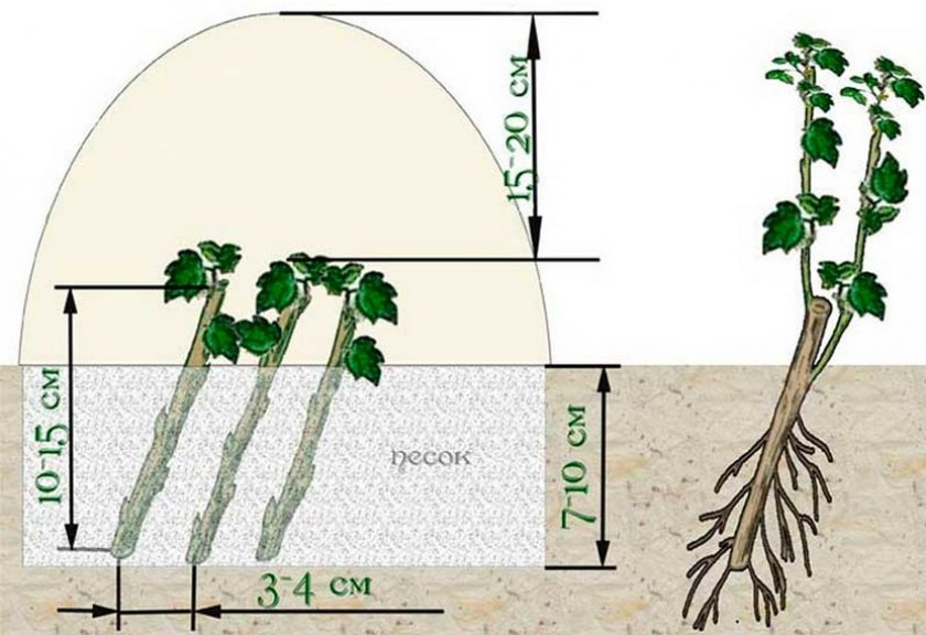 Схема размножения зелеными черенками