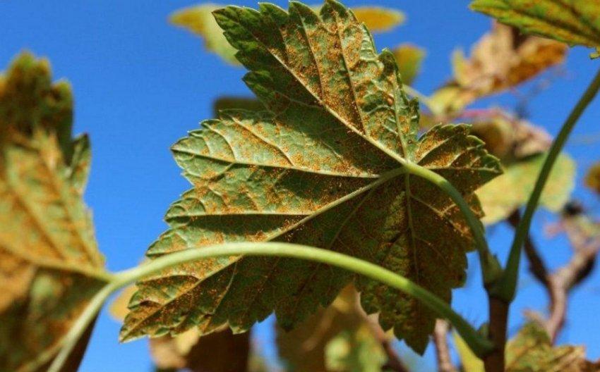 Ржавчина на листьях смородины