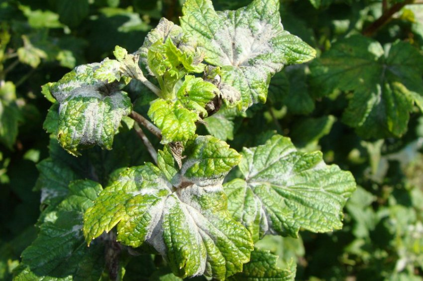 Мучнистая роса на листьях смородины