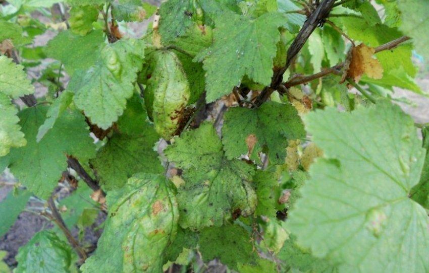 Серая гниль на листьях смородины