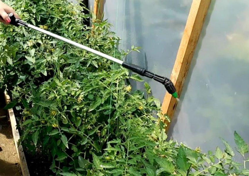 Обработка помидор раствором