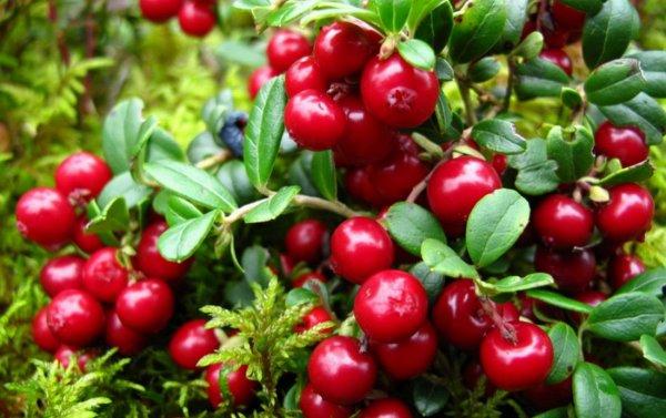 Брусника, полезные свойства и противопоказания