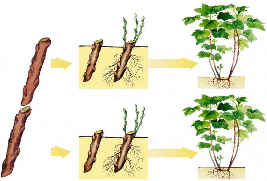 Размножение чёрной смородины черенками