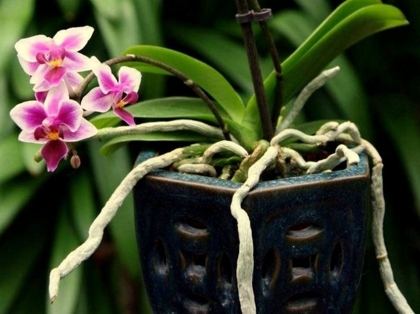 Воздушные корни у орхидеи