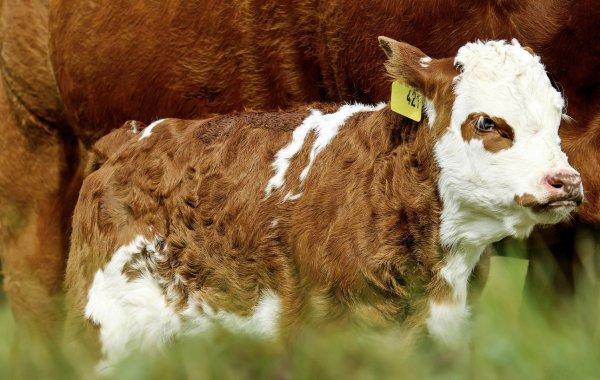 Как называют ребенка коровы