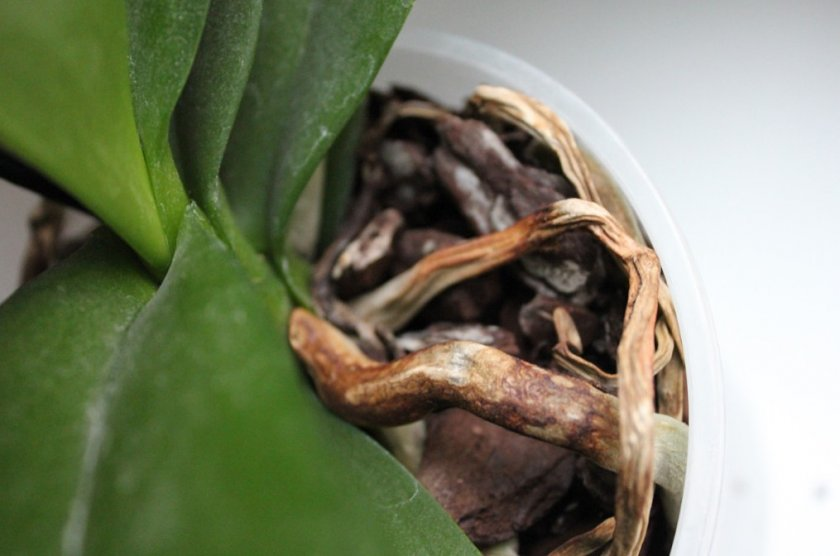 Сохнут корешки у орхидеи