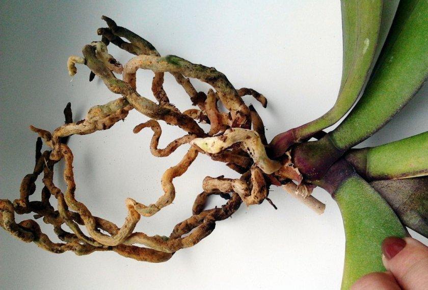 Гниют корни орхидеи