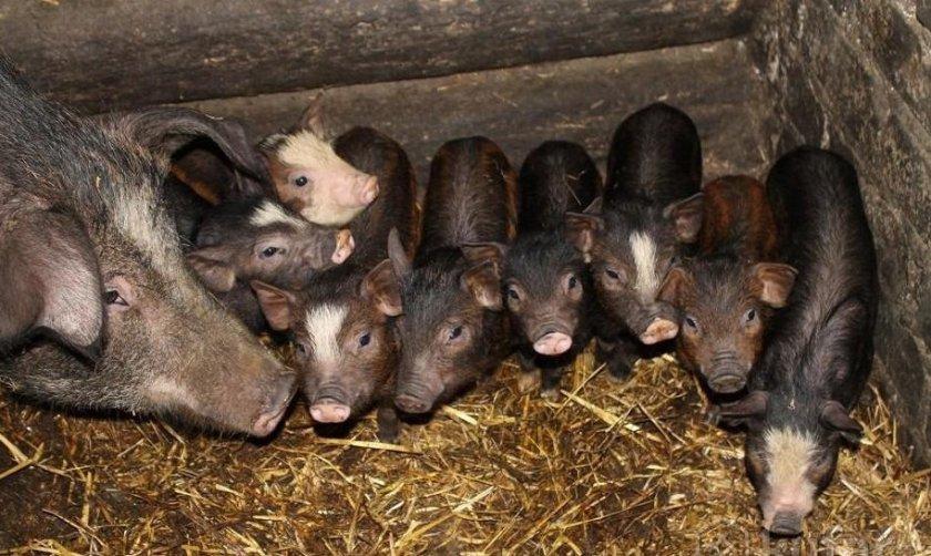 Свиньи породы кармал