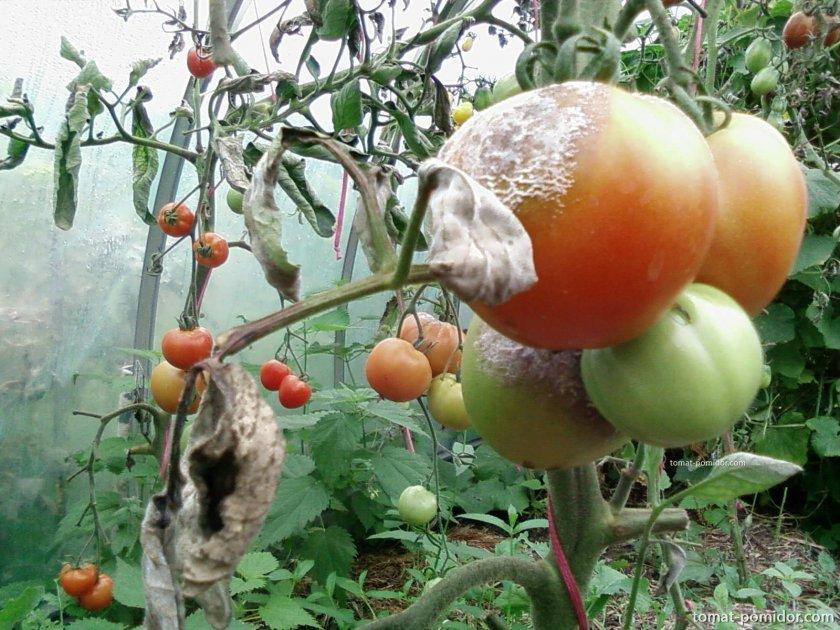 Как обработать помидоры зелёнкой