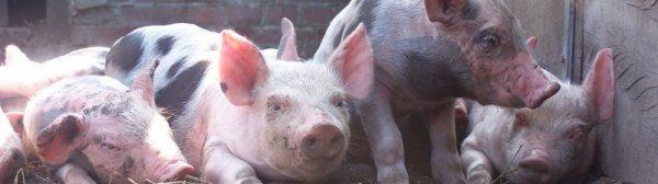 Свиньи пьетрен порода и ее характеристика