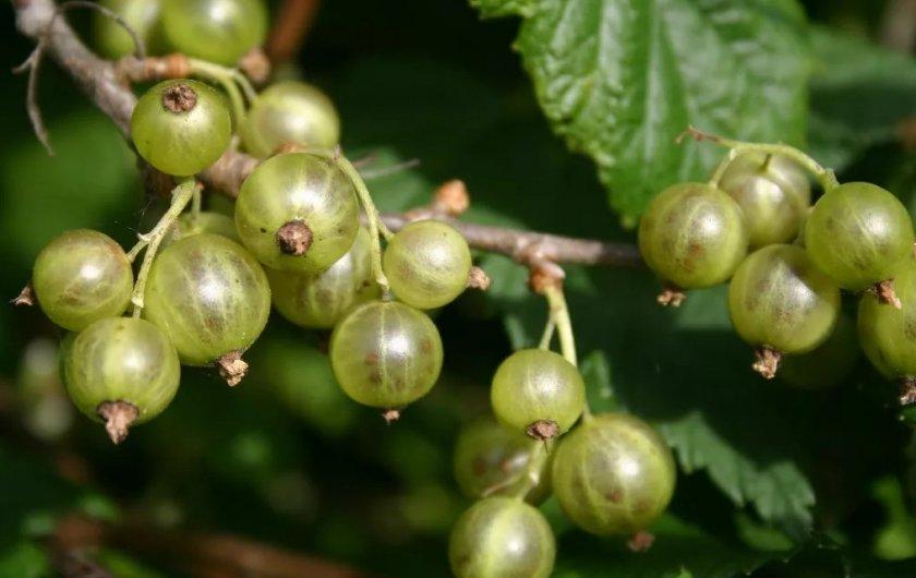 Сорта зелёной смородины