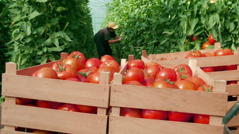 Сбор урожая помидоров Дубок