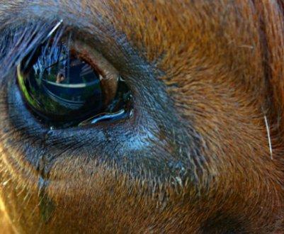 Особенности строения глаз коровы