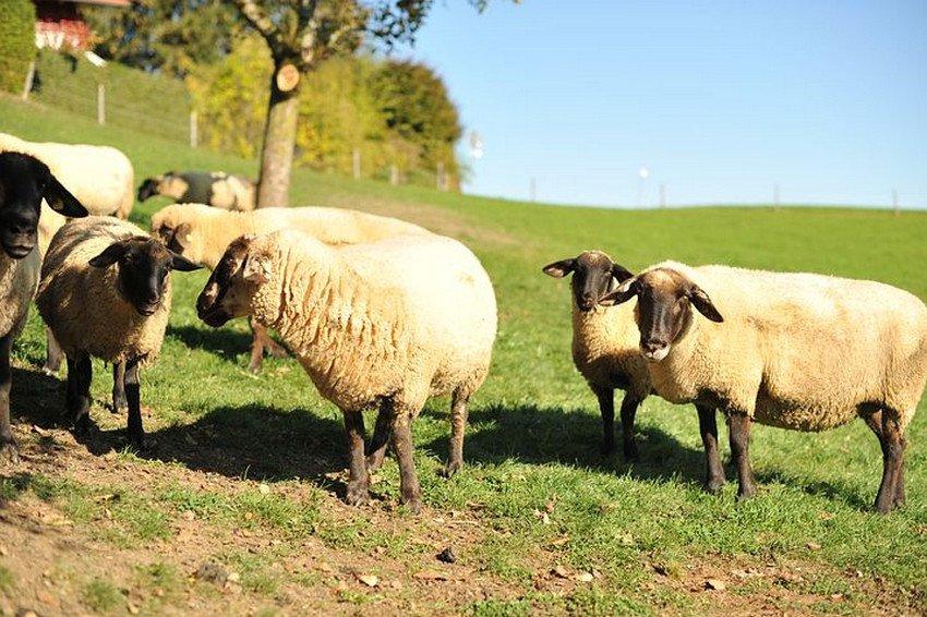 Выпас овец породы Суффолк