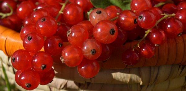 Сорт красной смородины сахарная
