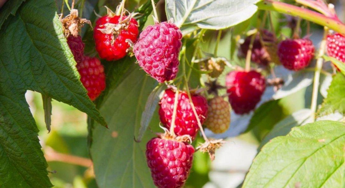 Лучшие сорта красной малины: посадка и уход