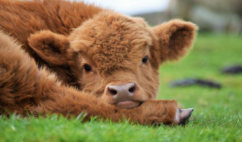 Глаза коровы